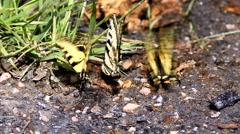 Tiger Swallow Tail butterflies fluttering Stock Footage