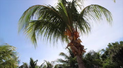 Beautiful Palm Tree in a hot sunny weather in Cuba Stock Footage