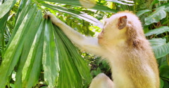 Close-up view of funny monkey holding green tropical plant leaf in rainforest Stock Footage