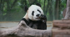 Giant panda is eating green bamboo boots - stock footage