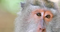 Close up eyes of adult monkey in wildlife of Bali island in Indonesia Stock Footage