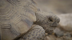 Slow motion shot Desert Tortoise close up Stock Footage