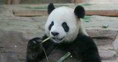 Giant panda's sharp teeth - stock footage
