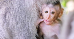 Cute small infant baby macaque monkey suckles mother milk. Closeup funny face Stock Footage
