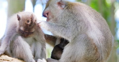 Brown rhesus macaque cleaning fleas in family relative's  fur while relaxing - stock footage