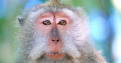Adult macaque monkey female makes sound calling for baby. Closeup eyes and face Stock Footage