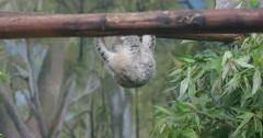 Baby koala is a gymnast - stock footage