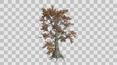 Sassafras Gold Tree Growth Animation Stock Footage
