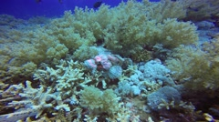Scorpion fish in the reef Elphinstone. Stock Footage