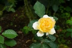 blooming yellow rose - stock photo
