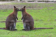 Kangaroo in its natural habitat - stock photo