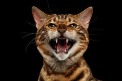 Closeup Portrait of Hissing Bengal Cat on Black Isolated Background - stock photo