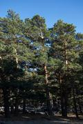 Scots Pine forest in Guadarrama Mountains, Madrid, Spain Stock Photos