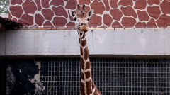 Giraffe in the zoo is in the summer warm weather Stock Footage