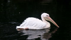 White Pelican floating on the water of the lake Stock Footage