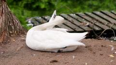 White bewick Swan preening Stock Footage