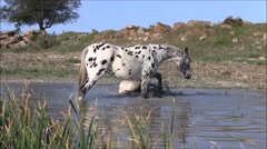 Horses rolling in a dam Stock Footage