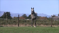 Dirty appaloosa horse in a paddock Stock Footage