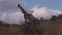 Giraffe walking past in the african bush - stock footage