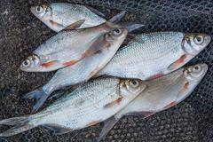 Freshwater fish just taken from the water. Several bream and silver bream or - stock photo