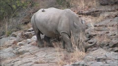 White rhino walking across rocks Stock Footage