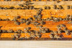 Close up view of the bees swarming on a honeycomb. Stock Photos