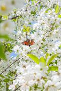 Peacock butterfly on cherry blossom against blue sky. Stock Photos