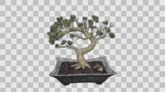 Bonsai Hand Draw Tree Growing Animation Stock Footage