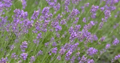 Lavender blooming in summer breeze Stock Footage