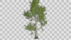 London Plane Tree Growth Animation - stock footage