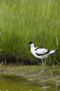 Pied Avocet wading in water - stock photo