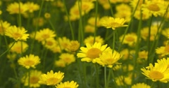 Yellow chamomile flowers in summer breeze Stock Footage