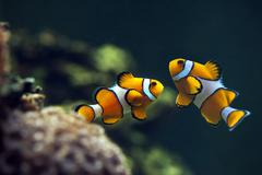 Clown anemonefish,  Orange clownfish - Amphiprion percula, Clown anemonefish, - stock photo