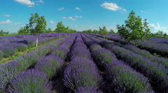 Aerial view of lavender garden with trees in countryside rural meadow. - stock footage