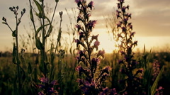Flowers at sunset in the field Stock Footage