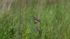 Bird Whinchat (Saxicola rubetra) sitting in the grass, which sways the wind Stock Footage