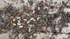 Ants save their larvae from danger Stock Footage