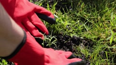 Hands in gloves planting flower in the park. Close up. Green background. Stock Footage