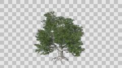European Beech Tree Growth Animation Stock Footage