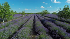 Aerial view of lavender garden with trees in countryside rural meadow. Stock Footage