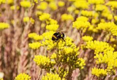 Bumble-bee and yellow sedum flowers Stock Photos