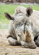 White rhinoceros - Ceratotherium simum simum, animal portrait - stock photo