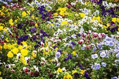 Mixed pansies flowers in the garden, seasonal natural scene - stock photo