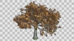 White Oak Gold Tree Growth Animation Stock Footage