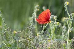 Single Wild Poppy Stock Photos