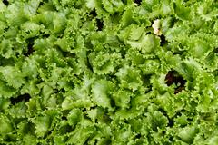frillice iceberg lettuce vegetable growing in agricultural farm - stock photo