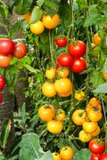 Tomato growing in agricultural farm Stock Photos