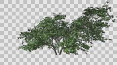 Kousa Dogwood Tree Growth Animation Stock Footage