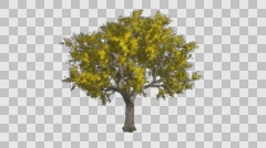 Amur Cork Gold Green Tree Growth Animation - stock footage