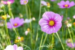cosmos flower meadow - stock photo